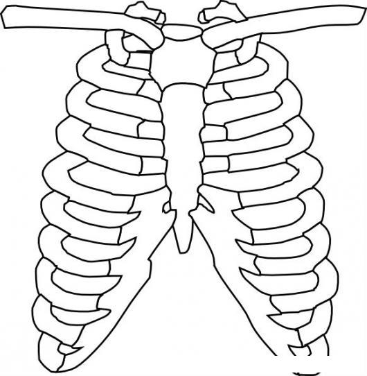 Costillas Y Claviculas Del Cuerpo Humano Dibujo De Caja Toraxica
