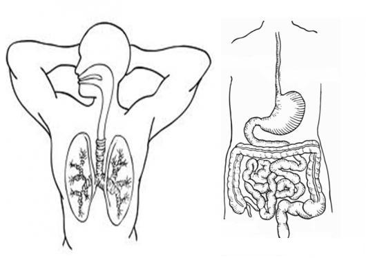 Sistema Respiratorio Y Sistema Digestivo Para Pintar Y