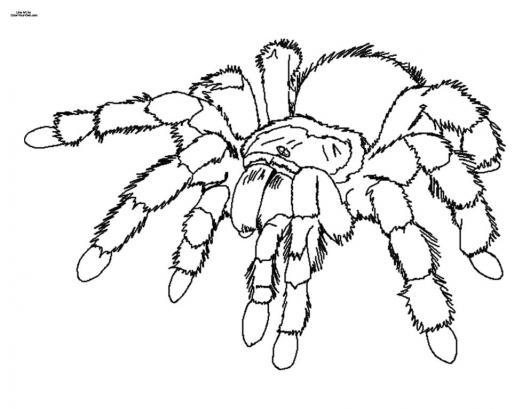 Dibujo De Tarantula Peluda Para Pintar Y Colorear Arana Venenosa