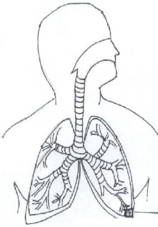 Free coloring pages of lungs unlabelled