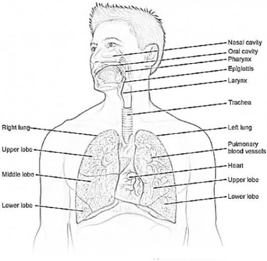 anatomy coloring pages of respiratory - photo#22